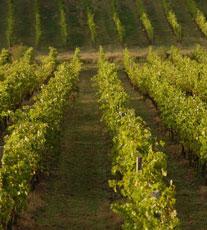 Agriculture-Vineyard